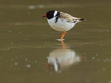 Hooded Plover (Thinornis rubricollis) in breeding plumage, Wilsons Promontory National Park, Victoria, Australia  -  Martin Willis