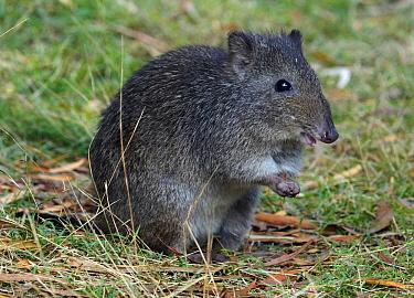 Long-nosed Potoroo (Potorous tridactylus), Tasmania, Australia  -  Martin Willis