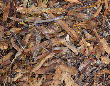 Northern Death Adder (Acanthophis praelongus) camouflaged in leaf litter, Northern Australia, Australia  -  Martin Willis