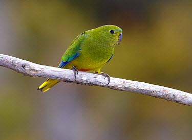 Orange-bellied Parrot (Neophema chrysogaster) female, Tasmania, Australia  -  Martin Willis
