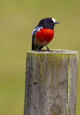 Scarlet Robin (Petroica boodang) male, Bruny Island, Tasmania, Australia  -  Martin Willis