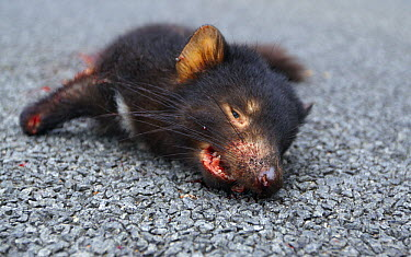 Tasmanian Devil (Sarcophilus harrisii) killed on road, Tasmania, Australia  -  Martin Willis