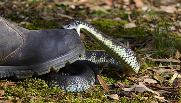 Tiger Snake (Notechis scutatus) biting shoe after being stepped on, Traralgon, Victoria, Australia  -  Martin Willis