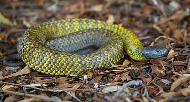 Black Tiger Snake (Notechis ater), Tasmania, Australia  -  Martin Willis