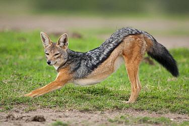 Black-backed Jackal (Canis mesomelas) stretching, Solio Ranch, Kenya  -  Tui De Roy