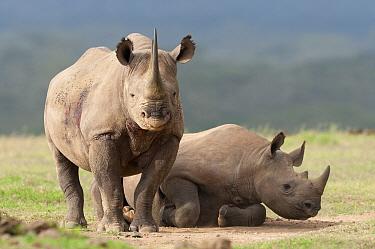 Black Rhinoceros (Diceros bicornis) mother and almost fully grown calf, Solio Ranch, Kenya  -  Tui De Roy