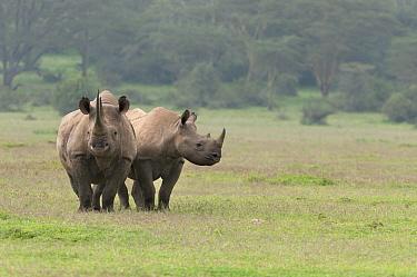 Black Rhinoceros (Diceros bicornis) mother and almost fully grown calf in grassland, Solio Ranch, Kenya  -  Tui De Roy