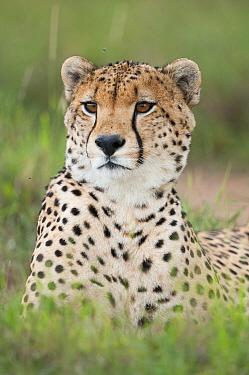 Cheetah (Acinonyx jubatus), El Karama Ranch, Kenya  -  Tui De Roy