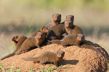 Dwarf Mongoose (Helogale parvula) group on termite mound, El Karama Ranch, Kenya  -  Tui De Roy