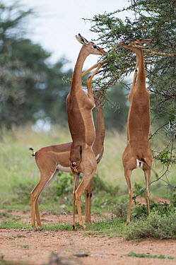 Gerenuk (Litocranius walleri) females browsing, El Karama Ranch, Kenya  -  Tui De Roy