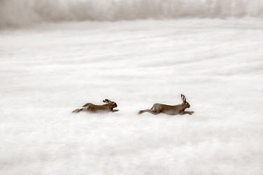 European Hare (Lepus europaeus) pair running, Netherlands  -  Jim Brandenburg