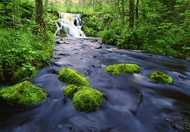 Moss covered stones in Judd Creek, Northwoods, Minnesota  -  Jim Brandenburg