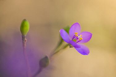 Violet Wood-sorrel (Oxalis violacea) flower, Minnesota  -  Jim Brandenburg