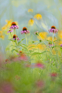 Prairie Coneflower (Ratibida pinnata) flowers  -  Jim Brandenburg
