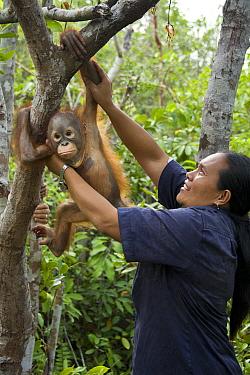 Orangutan (Pongo pygmaeus) caretaker putting infants in tree for forest exploration and training, Orangutan Care Center, Borneo, Indonesia  -  Suzi Eszterhas