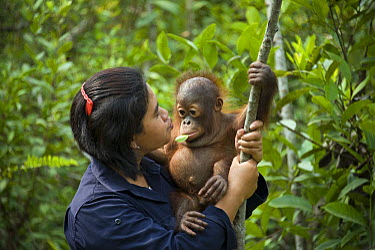 Orangutan (Pongo pygmaeus) caretaker with infant in tree during forest exploration and training program, Orangutan Care Center, Borneo, Indonesia  -  Suzi Eszterhas