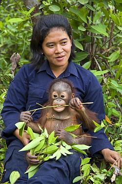 Orangutan (Pongo pygmaeus) caretaker with two year old infant during forest exploration and training program, Orangutan Care Center, Borneo, Indonesia  -  Suzi Eszterhas