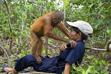 Orangutan (Pongo pygmaeus) two year old infant playing on caretaker during forest exploration and training, Orangutan Care Center, Borneo, Indonesia  -  Suzi Eszterhas