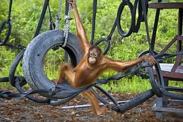 Orangutan (Pongo pygmaeus) juvenile in play area, Orangutan Care Center, Borneo, Indonesia  -  Suzi Eszterhas