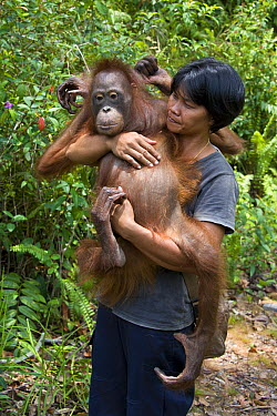 Orangutan (Pongo pygmaeus) caretaker carrying juvenile in forest during forest exploration and training program, Orangutan Care Center, Borneo, Indonesia  -  Suzi Eszterhas