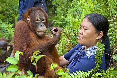 Orangutan (Pongo pygmaeus) caretaker with juvenile in forest during forest exploration and training program, Orangutan Care Center, Borneo, Indonesia  -  Suzi Eszterhas