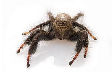 Jumping Spider (Salticidae), Gorongosa National Park, Mozambique  -  Piotr Naskrecki