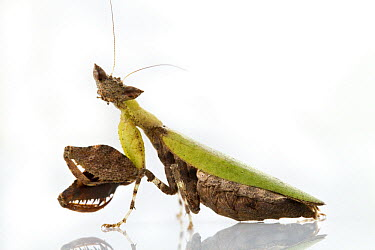 Praying Mantis (Otomantis scutigera), Gorongosa National Park, Mozambique  -  Piotr Naskrecki