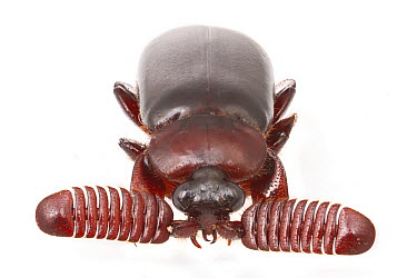 Ground Beetle (Carabidae), Gorongosa National Park, Mozambique  -  Piotr Naskrecki