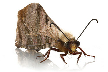 Antlion (Palpares sp), Gorongosa National Park, Mozambique  -  Piotr Naskrecki
