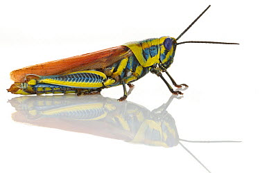 Grasshopper (Eupropacris sp) with aposematic coloration, Gorongosa National Park, Mozambique  -  Piotr Naskrecki