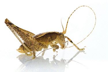 Katydid (Tettigoniidae), newly discovered species, cleaning antenna, Gorongosa National Park, Mozambique  -  Piotr Naskrecki