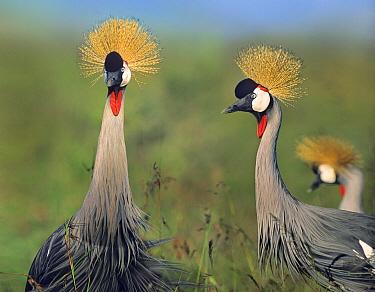 Crowned Crane (Balearica sp) pair, Nairobi National Park, Kenya  -  Tim Fitzharris