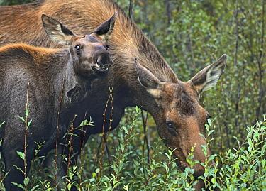 Alaska Moose (Alces alces gigas) cow and calf browsing near Anchorage, Alaska  -  Tim Fitzharris