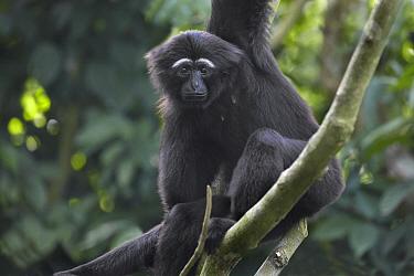 Hoolock Gibbon (Hylobates hoolock), Singapore Zoo, Singapore  -  Tim Fitzharris