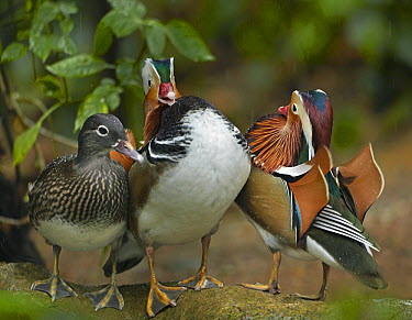 Mandarin Duck (Aix galericulata) males competing over female, Jurong Bird Park, Singapore  -  Tim Fitzharris
