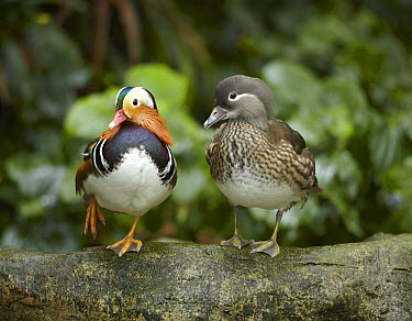 Mandarin Duck (Aix galericulata) male and female, Jurong Bird Park, Singapore  -  Tim Fitzharris