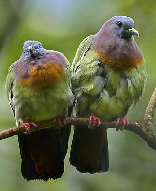 Pink-necked Green-Pigeon (Treron vernans) pair, Jurong Bird Park, Singapore  -  Tim Fitzharris