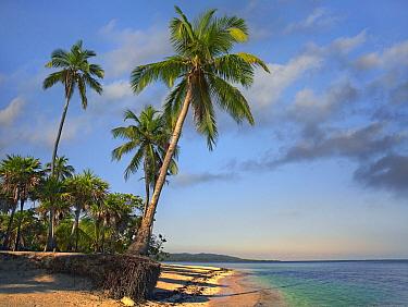 Palm trees, Palmetto Bay, Roatan Island, Honduras  -  Tim Fitzharris