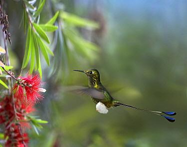 Booted Racket-tail (Ocreatus underwoodii) hummingbird male feeding on flower nectar, Ecuador  -  Tim Fitzharris