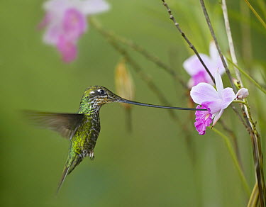 Sword-billed Hummingbird (Ensifera ensifera) feeding on flower nectar, Ecuador  -  Tim Fitzharris