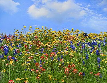 Sand Bluebonnet (Lupinus subcarnosus) and Indian Paintbrush (Castilleja miniata) flowers, Texas  -  Tim Fitzharris