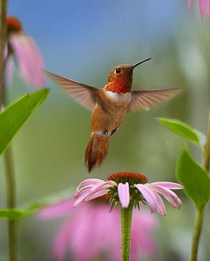 Rufous Hummingbird (Selasphorus rufus) male feeding on flower nectar  -  Tim Fitzharris