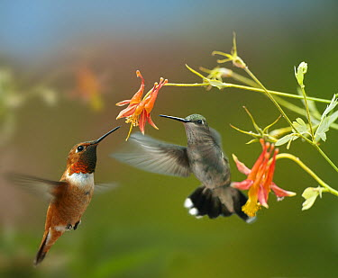 Rufous Hummingbird (Selasphorus rufus) male and Black-chinned Hummingbird (Archilochus alexandri) female feeding on flower nectar  -  Tim Fitzharris