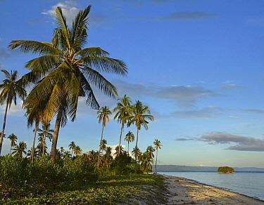 Coconut Palm (Cocos nucifera) trees, Pamilacan Island, Bohol Island, Philippines  -  Tim Fitzharris