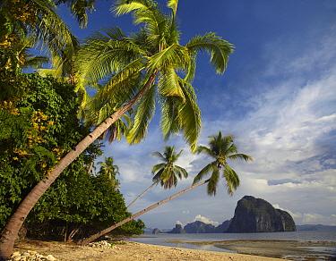 Palm trees, Pinagbuyutan Island, Palawan, Philippines  -  Tim Fitzharris