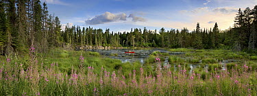 Fireweed (Chamerion angustifolium) flowering in meadow with kayaker on lake, Minnesota  -  Jim Brandenburg