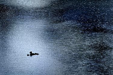 Merganser (Mergus sp) duck female and chicks in the rain, Olivia Pond, North America  -  Jim Brandenburg