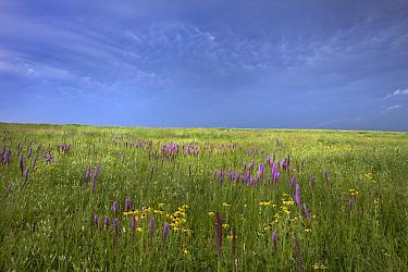 Thickspike Gayfeather (Liatris pycnostachya) flowers in grass, Touch the Sky Northern Tallgrass Prairie National Wildlife Refuge, Minnesota  -  Jim Brandenburg