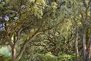 Holm Oak (Quercus ilex) trees, Noirmoutier Island, France  -  Jim Brandenburg