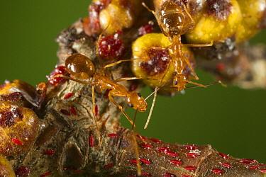 Yellow Crazy Ant (Anoplolepis gracilipes) pair guarding Scale Insects (Tachardina aurantiaca), Christmas Island National Park, Christmas Island, Australia  -  Stephen Belcher